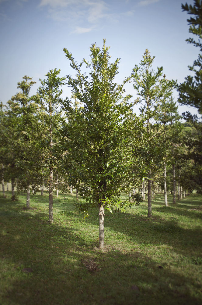Qld Kauri Pine