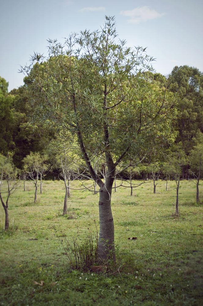 Qld Bottle Tree